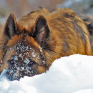 What Gives Long Haired German Shepherd Puppies Their Beautiful Coats?